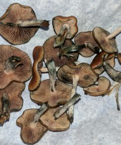 Buy Flying Saucer Mushrooms